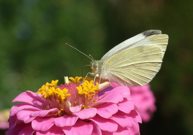 Nature, Butterfly Day, Insect, Flower, Zinnia, Summer