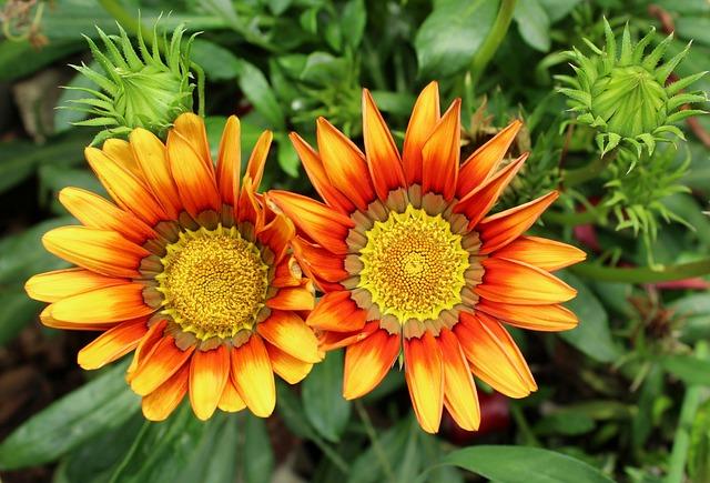 Gazania, Gazanie, Flowers, Summer, Garden, Nature