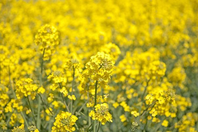 Canola, Summer, Field, Landscapes, Bed, Oilseeds