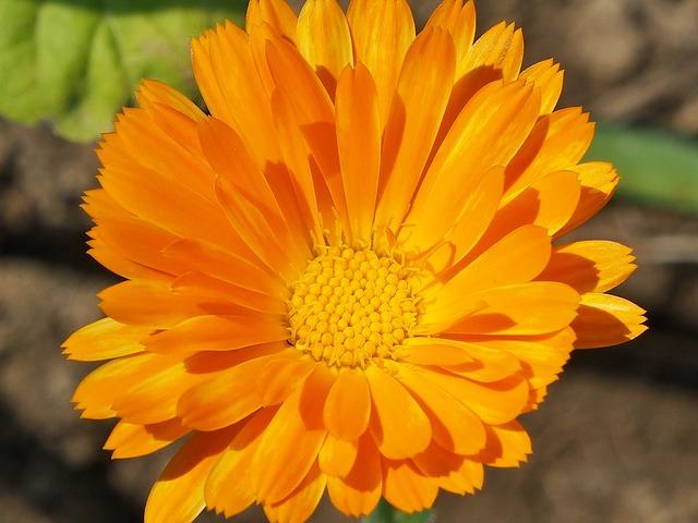Flower, Summer, Marigold, Orange, Yellow, Blossom