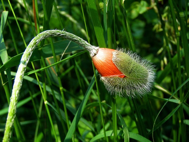Poppy, Flower Buds, Summer, Flower, Orange