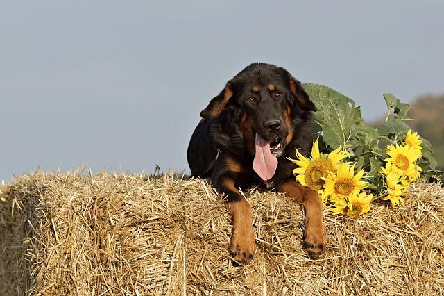 Dog, Straw, Package, Sunflower, Summer, Mastiffs