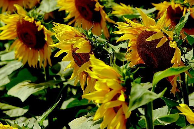 Flower, Nature, Plant, Summer, Sunflower, Flowers
