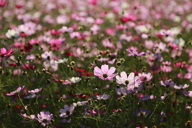 Cosmos, Flowers, Nature, Plants, Summer, Flower Garden