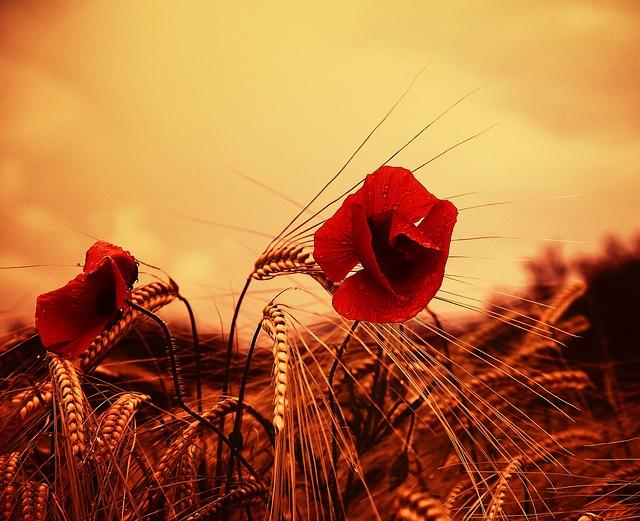Poppy, Flower, Red, Wildflower, Field, Summer