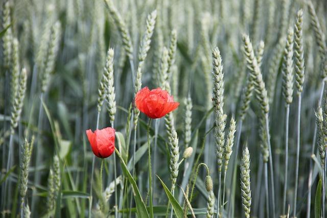 Poppy, Grain, Cornfield, Cereals, Red, Summer