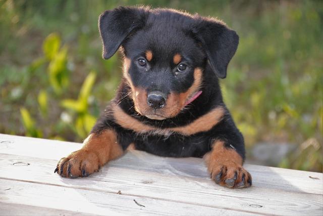 Rottweiler, Puppy, Dog, Pet, Cute, Animals, Summer