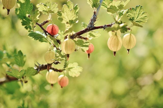 Gooseberry, Fruits, Red, Summer, Naked Stalks Poppy