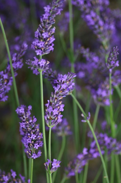 Lavender, Flower, Rod, Nature, Summer, Lavender Flower