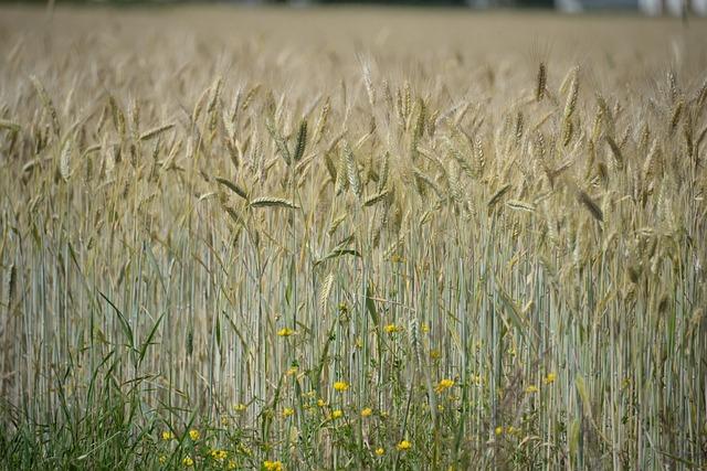 Cornfield, Spike, Flowers, Summer, Field