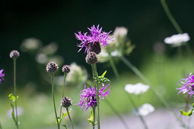 Flower Meadow, Natural Lawn, Summer Meadow, Summer