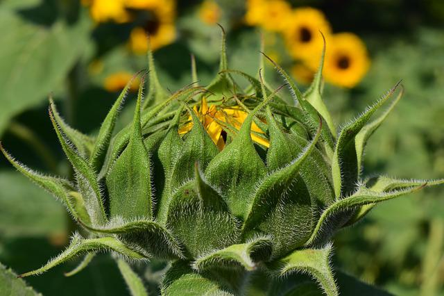 Sun Flower, Bud, Sunflower Bud, Summer, Plant, Nature