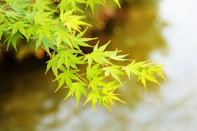 The Scenery, Macro, Summer, Acer Palmatum