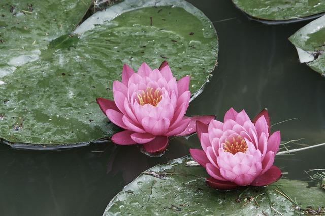 Water Lilies, Flowers, Summer, Pond, Water