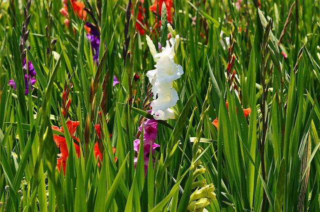 Gladiolus, White, Summer, Various Colors, Nature