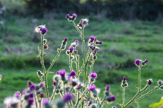 Thistles, Sun, Back Light, Purple, Bloom, Flowers