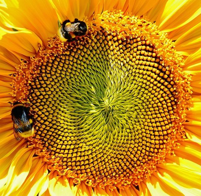 Sun Flower, Bumblebees, Summer, Garden, Blossom, Bloom