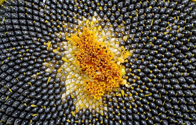 Sun Flower, Seeds, Sunflower Seeds, Close