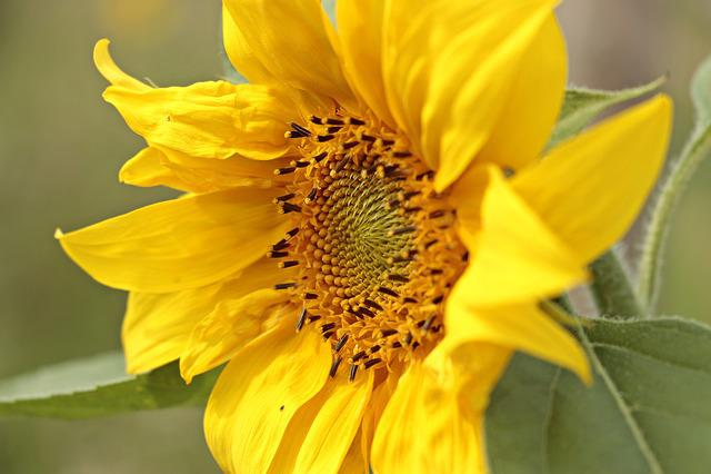 Sun Flower, Helianthus, Small Sun Flower, Flower