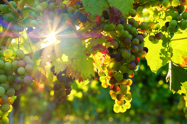 Grapes, Sun, Sunbeam, Fruit, Vines, Rebstock, Wine