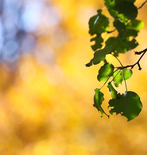 Autumn, Fall, Leaves, Pear Tree, Sunny, Sun, Gold
