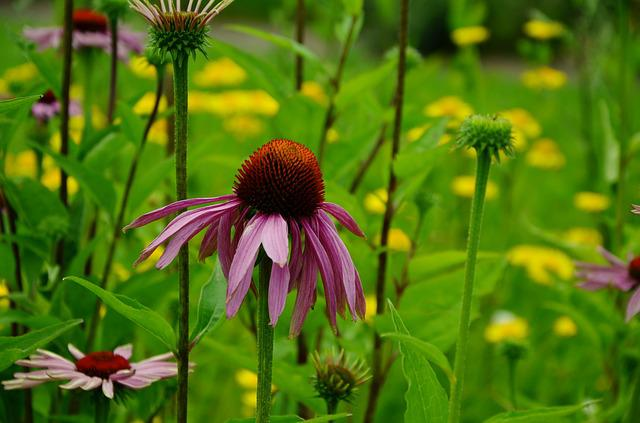 Sun Hat, Purple Sparkle Sonnenhut, Echinacea Purpurea