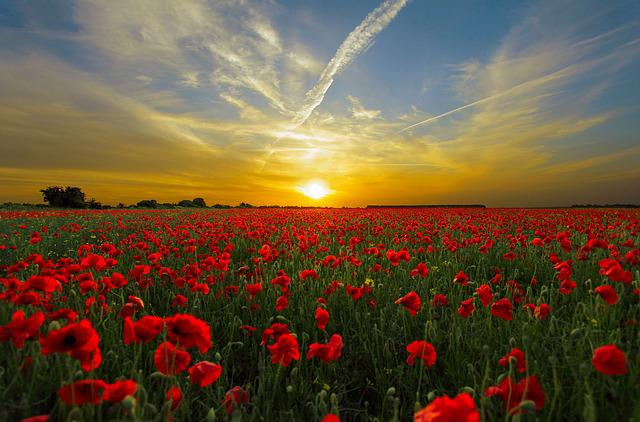 Sunset, Field Poppy, Sun, Priroda, Horizon