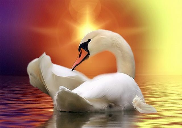 Swan, Golden, Water, Lake, Sun, Light, Animal, Nature