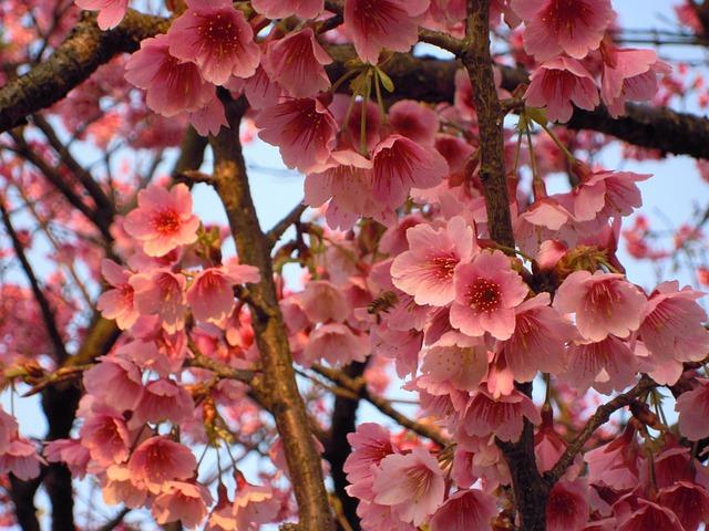 Prunus, Sun Ming Shan, Cherry Blossoms