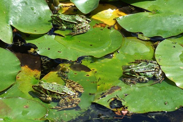 Frog, Pond, Moor, Summer, Sun, Puddle, Leaf, Aqua Table