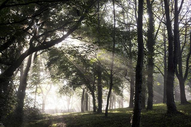 Forest, Undergrowth, Ray Of Sunshine, Sun, Mist, Nature