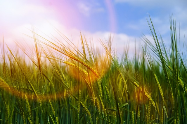 Wind, Movement, Blur, Light, Sun, Sunbeam, Wheat