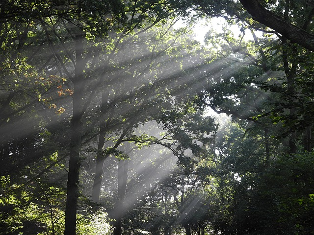 Sunbeam, Deciduous Forest, Morning Mist, Forest, Light
