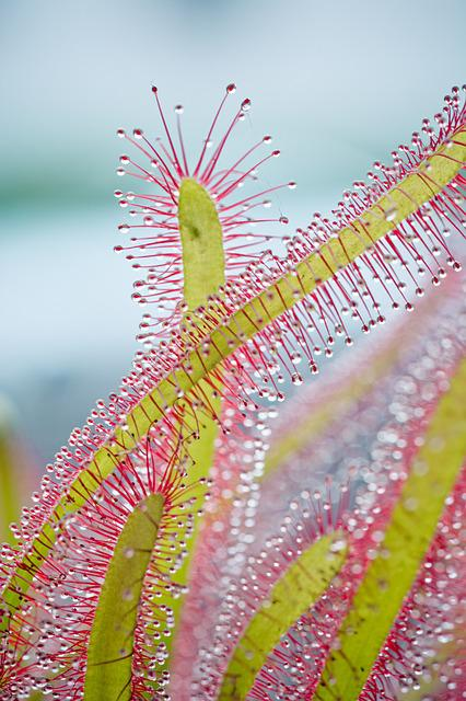 Drosera Capensis, Cape Sundew, Sundew, Droplets