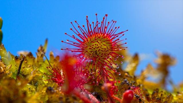 Sundew, Swamp, Plant, Carnivorous Plant, Wetland, Moss