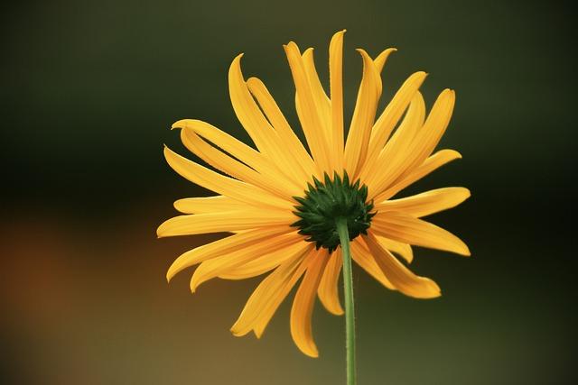 Perennials-sun Flower, Sunflower, Backwards, Rear