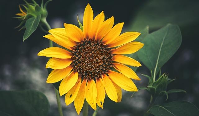 Sunflower, Balboa Park, Closeup, Flower, Garden, Floral