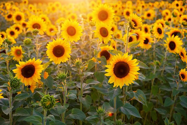 Sunflower, Sunflower Field, Flowers, Summer, Bloom