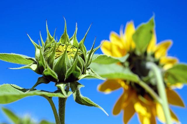 Sun Flower, Bud, Going Up, Sunflower Field, Sky