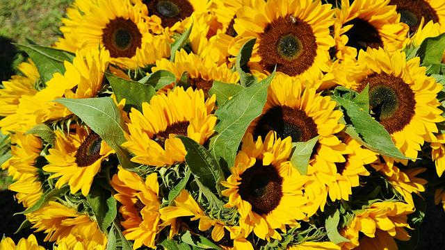 Sunflower, Sunflower Field, Bouquet, Flora, Field