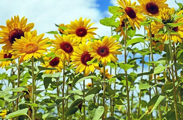 Sunflower, Flowers, Bloom, Yellow, Sunflower Field