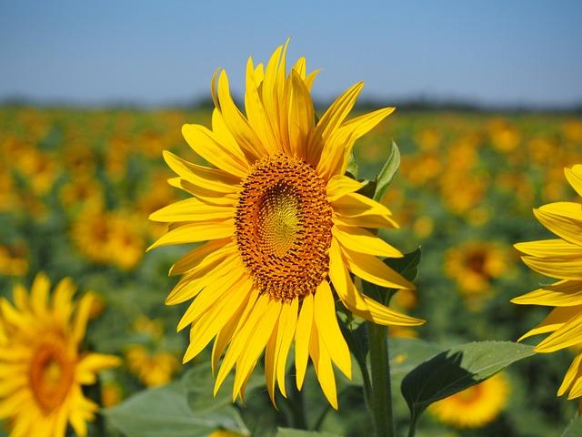 Sunflower, Inflorescence, Flower Basket, Flower