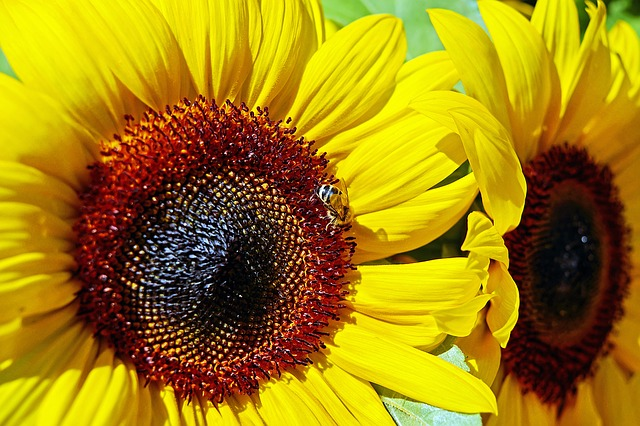 Sunflower, Flower, Blossom, Bloom, Bloom, Yellow, Bee