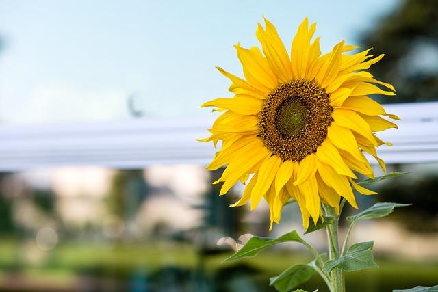 Nature, Flora, Flower, Summer, Beautiful, Sunflower