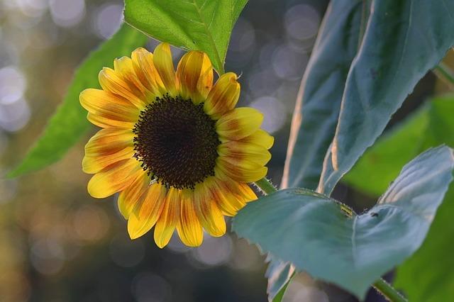 Flora, Nature, Flower, Leaf, Garden, Sunflower