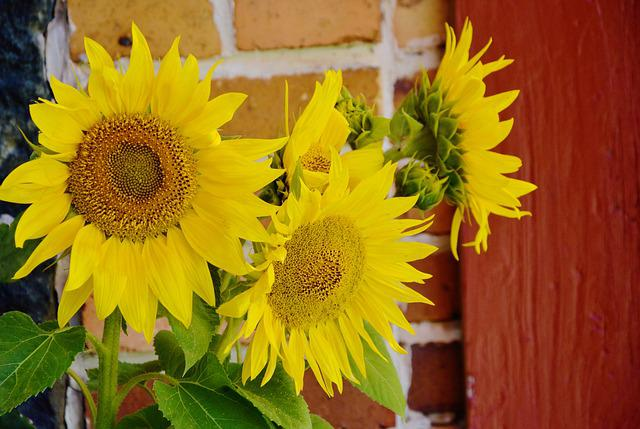 Sunflower, Helianthus Annuus, Ordinary Sunflower, Close