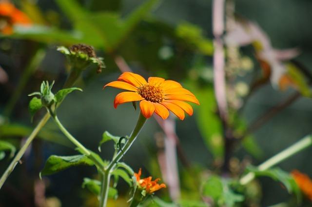 Sunflower Mexican, Flower, Orange, Summer, Petals