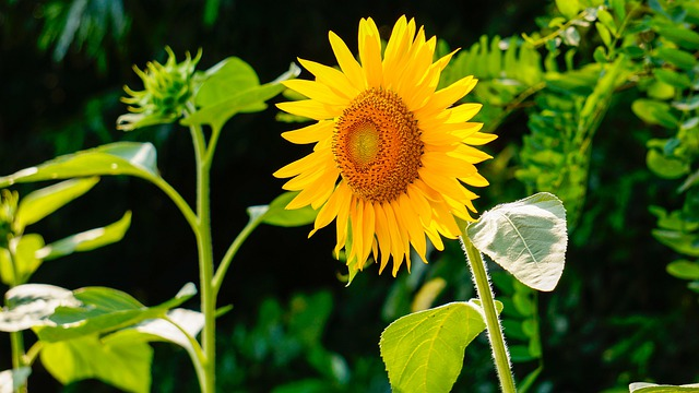 Sunflower, Nature, Flowers
