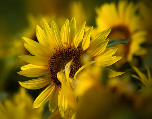 Flowers, Sunflower, Yellow, Nature, Plant, Big Flower