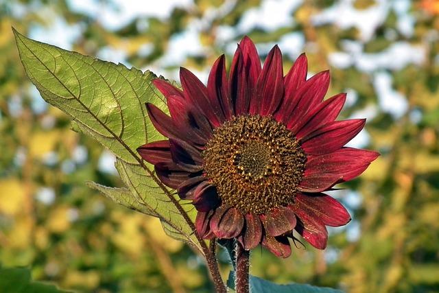 Nature, Plant, Flower, Sunflower, Dashing, Leaf